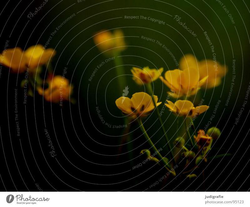 Blümchen Blume Wiese Pflanze Gift Sumpf-Dotterblumen Hahnenfuß Blüte Umwelt Farbe Vergänglichkeit Natur Wildtier blume des jahres 1999 Heilpflanzen