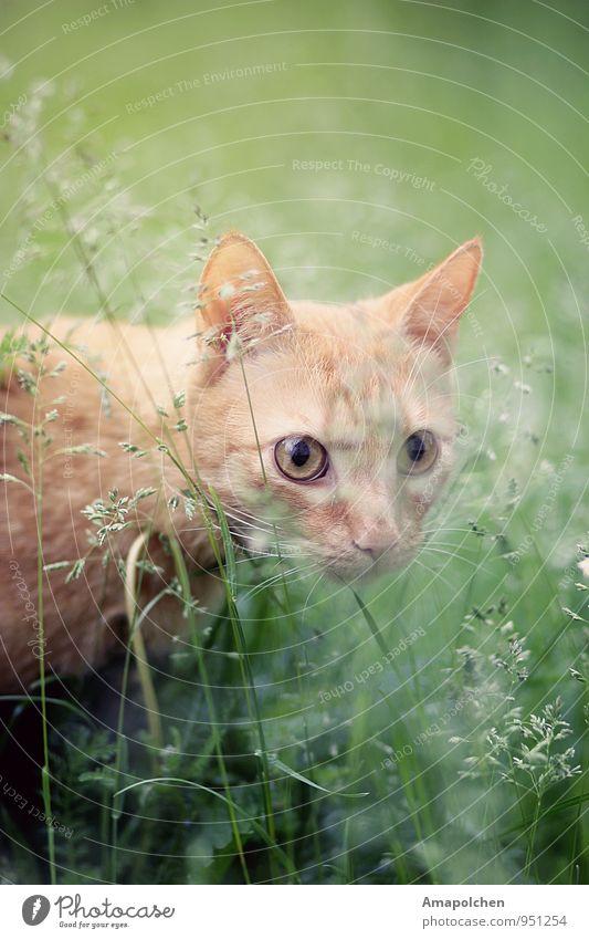 ::14-40:: Umwelt Natur Landschaft Pflanze Gras Sträucher Garten Park Wiese Tier Haustier Katze Tiergesicht Tierjunges fangen träumen Jäger Jagd schleichen