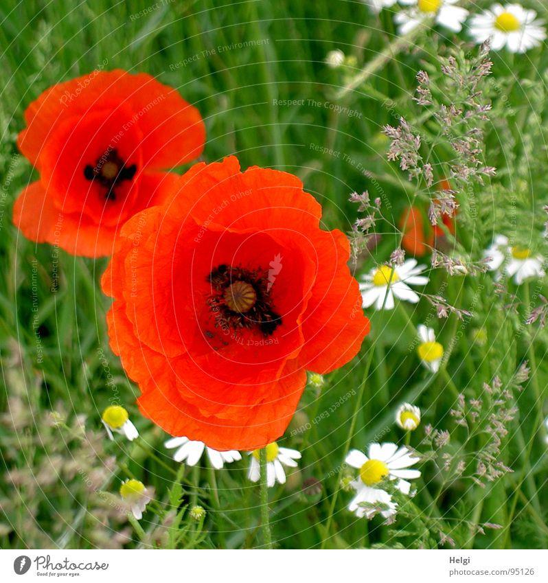 Mohnblüten und Margariten auf einer Wiese Blüte rot Klatschmohn 2 Blühend Wegrand Kamille Gesundheit weiß Gras grün Sommer gelb schwarz Feld Pflanze