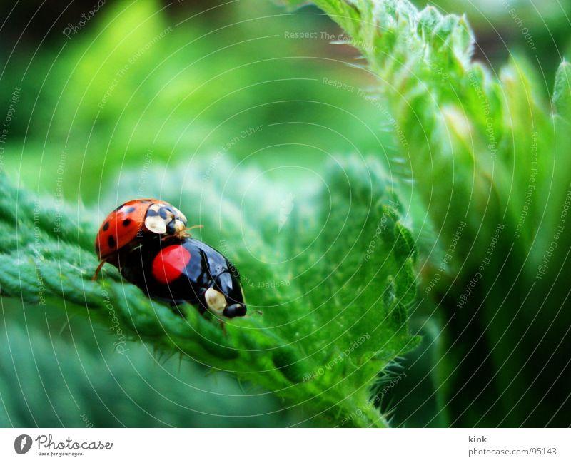 Marienkäfer haben auch mal Lust Natur Tier Käfer Marienkäfer Schiffsbug