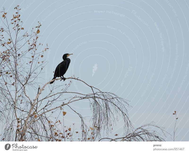 black Umwelt Natur Tier Baum Wildtier Vogel grau schwarz Kormoran Herbst Farbfoto Außenaufnahme Menschenleer Textfreiraum rechts Tag Tierporträt Profil
