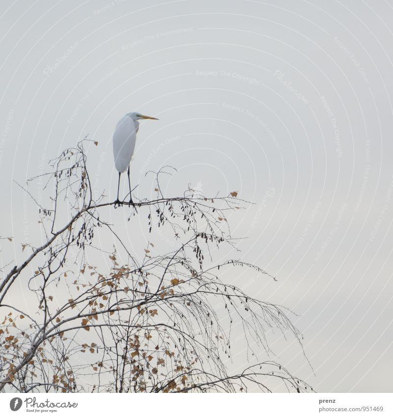 white Umwelt Natur Tier Herbst Baum Wildtier Vogel 1 grau weiß Silberreiher Reiher Storchendorf Linum Farbfoto Außenaufnahme Menschenleer Textfreiraum oben Tag
