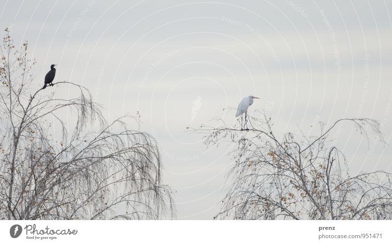 black and white Umwelt Natur Tier Herbst Schönes Wetter Baum Wildtier Vogel 2 grau schwarz weiß Silberreiher Reiher Kormoran Storchendorf Linum Farbfoto
