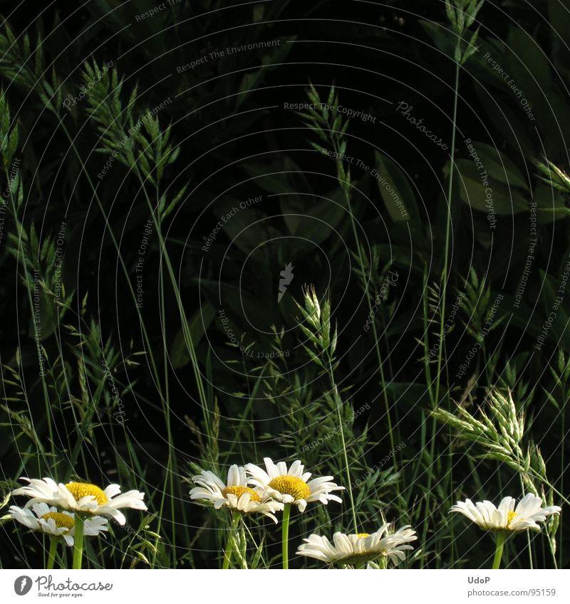 Gräser auf Margeriten an Kirschlorbeer Gras Blüte Blume grün weiß gelb Wiese Quadrat Sommer dreißigstes Bild Kontrast