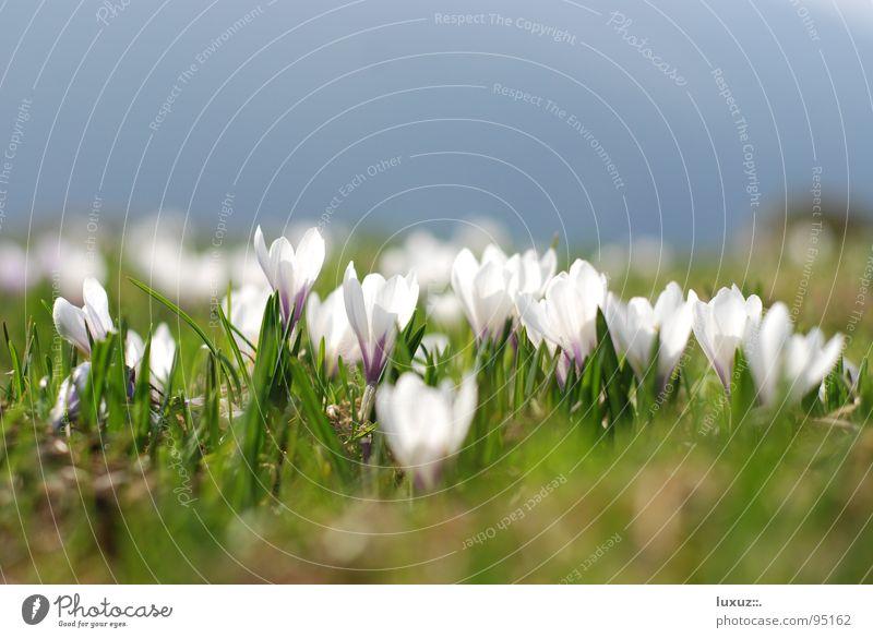 Frühling im Breitbild Alm aufwachen Bergwiese springen Krokusse Blume Wiese Blüte Kraft Berge u. Gebirge flower grassland crocus Weide