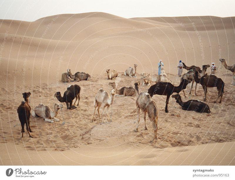 Karawanenrast Dromedar Feierabend ruhig Pause Marokko Erde Sand Afrika Säugetier Sandwüste Berber Abend abgesattelt friedlich Abendstille am Ende des Tages Düne