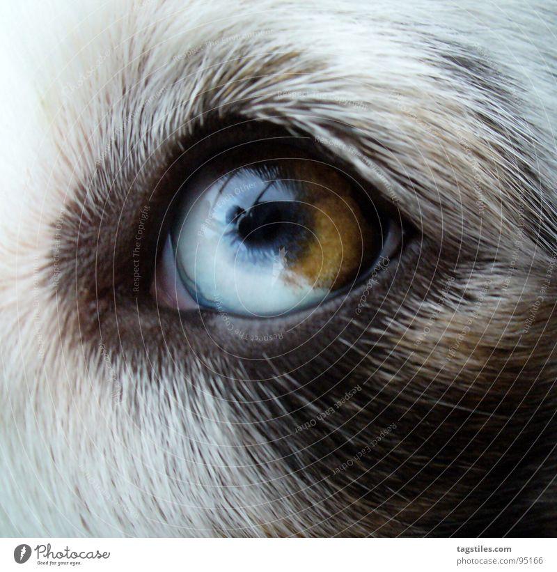 Auge Australien Hund Tier Tierzucht weiß schwarz braun verträumt träumen Treue Kuhfleck Hundeauge Zoomeffekt Säugetier Australian Shepherd Shepard Zuchthund