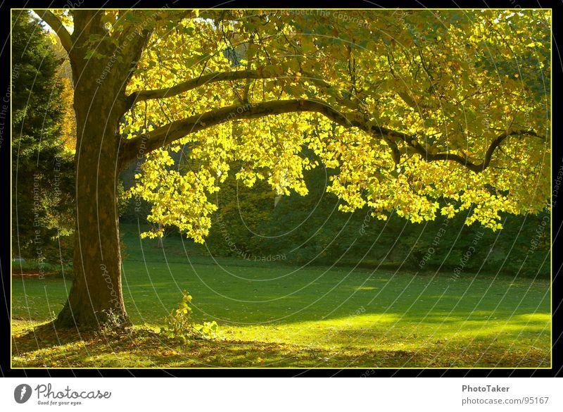 schon mal etwas Herbstliches.... Natur alt Baum grün Blatt gelb Wald Herbst Wiese Garten Park Tanne Ahorn Himmelskörper & Weltall