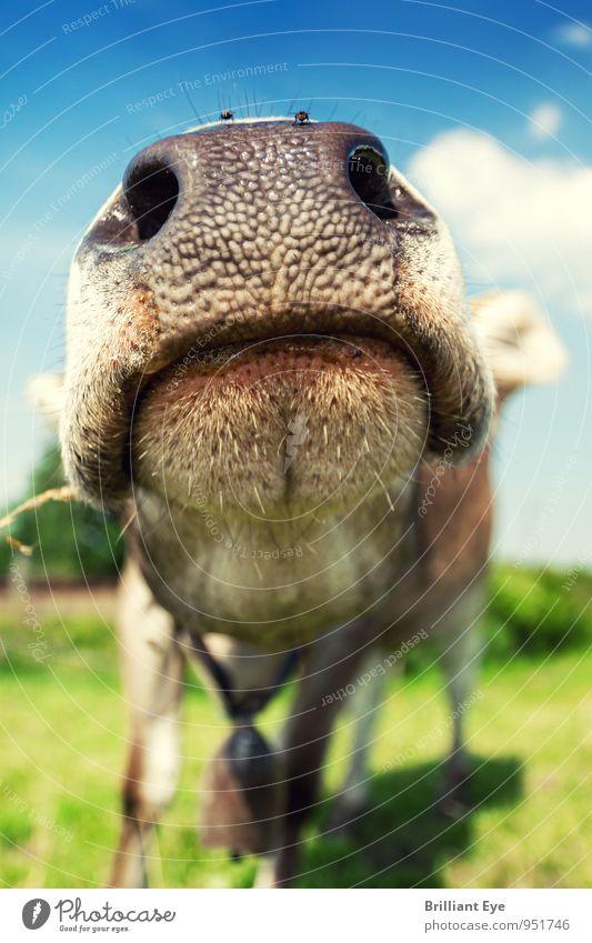Grosse Kuhnase Umwelt Natur Schönes Wetter Wiese Tier 1 Duft ästhetisch Gesundheit Glück lustig Neugier niedlich verrückt Abenteuer Freiheit Freizeit & Hobby