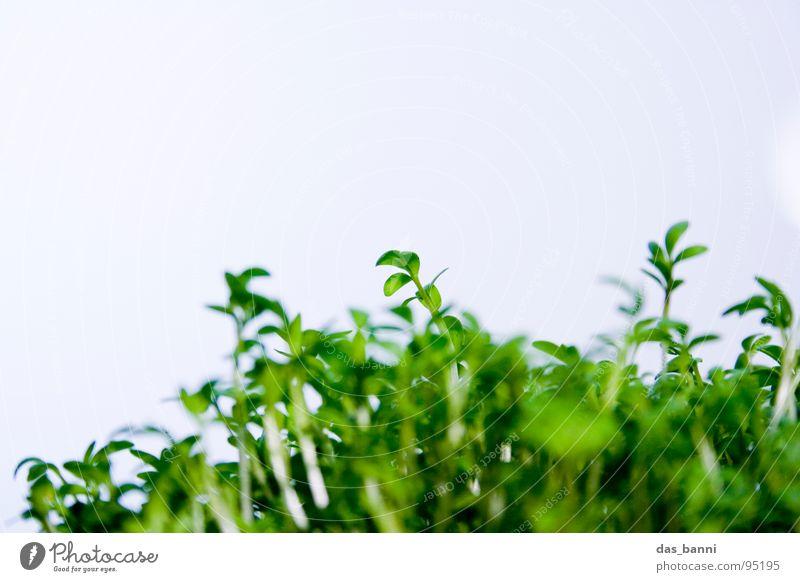 Das Experiment - Kresse Teil 1 Kräuter & Gewürze Pflanze Blattgrün Kresse Vor hellem Hintergrund
