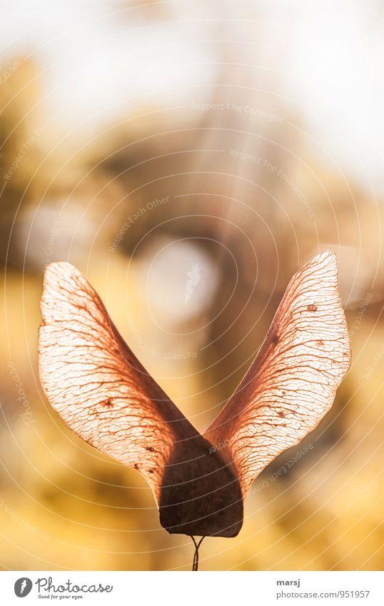 Herbstliche Hasenohren Natur Sonnenlicht Wildpflanze Samen Ahornsamen alt leuchten ästhetisch authentisch einfach elegant gelb gold Solidarität ruhig standhaft