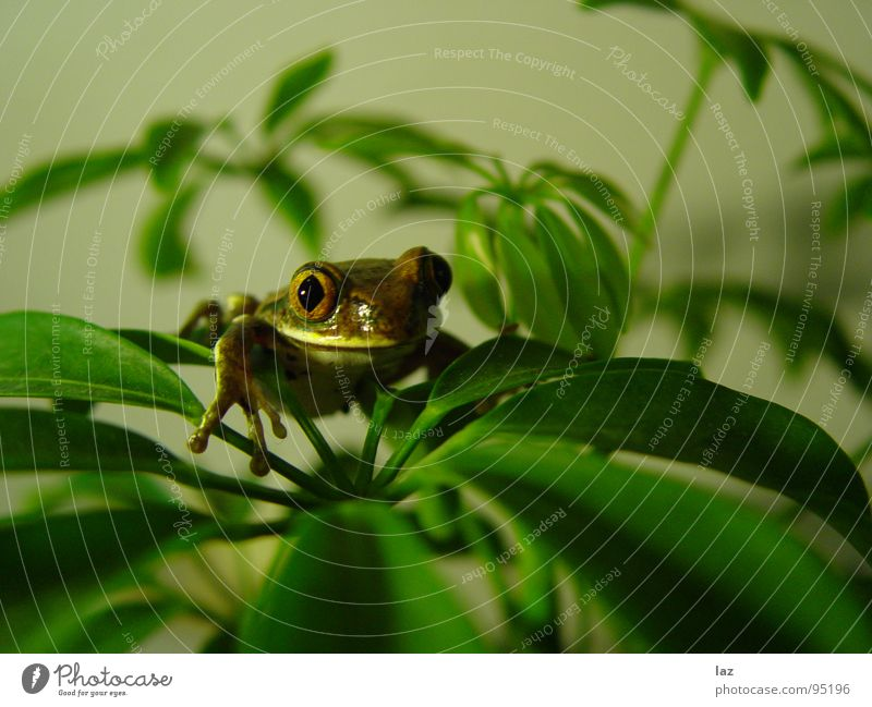 Küss mich grün Pflanze Auge braun Haut gold Küssen Frosch Lurch Lamelle Südamerika Kröte