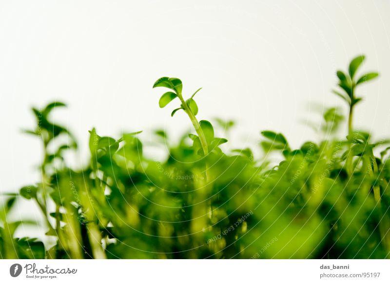Das Experiment - Kresse Teil 2 Pflanze Kräuter & Gewürze Blattgrün Vor hellem Hintergrund