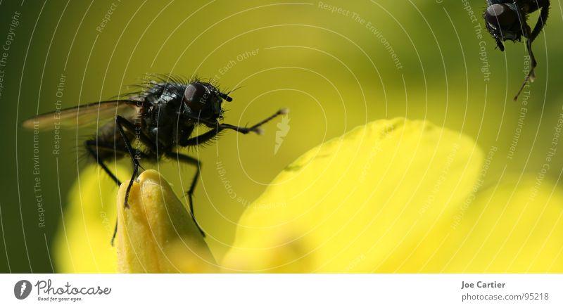 Begrüssung gelb Blüte Fliege Flügel Insekt Begrüßung Raps