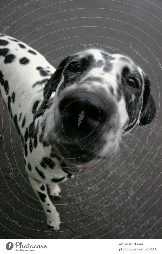 Straßenkind Hund Dalmatiner Obdachlose Asphalt Tier Säugetier Freizeit & Hobby Dog Schwarzweißfoto Dogs Amie