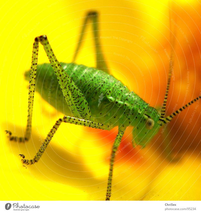 Punktierte Zartschrecke_1 Punktmuster Heuschrecke Heimchen grün gelb Fühler Sommer Insekt Tier Lebewesen Gras Blüte Makroaufnahme Nahaufnahme Beine Auge ChriSes