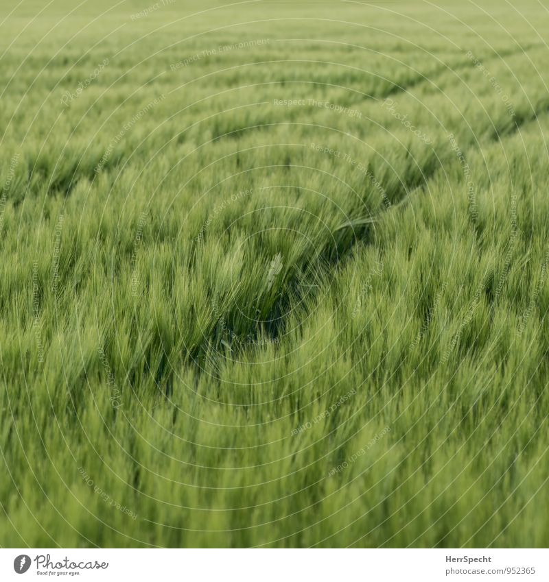 Spuren Umwelt Pflanze Frühling Sommer Feld frisch grün Gerste Gerstenfeld Gerstenähre Landwirtschaft Getreide Getreidefeld Traktorspur Ähren Monokultur zart