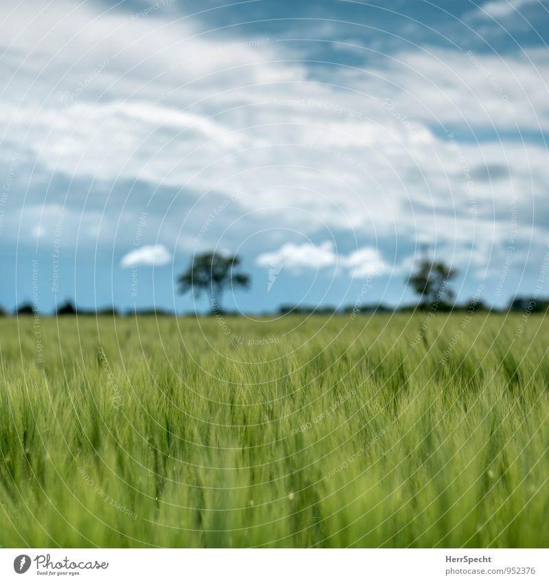 Gerstenfeld im Mai Umwelt Natur Pflanze Frühling Schönes Wetter Baum Grünpflanze Nutzpflanze Feld grün ländlich Landwirtschaft Horizont Wolkenhimmel Gerstenähre