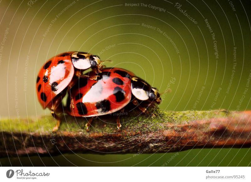 Gib´s mir, baby! Tier 2 Zusammensein Tierpaar paarweise Punkt Lust Marienkäfer besteigen Insekt
