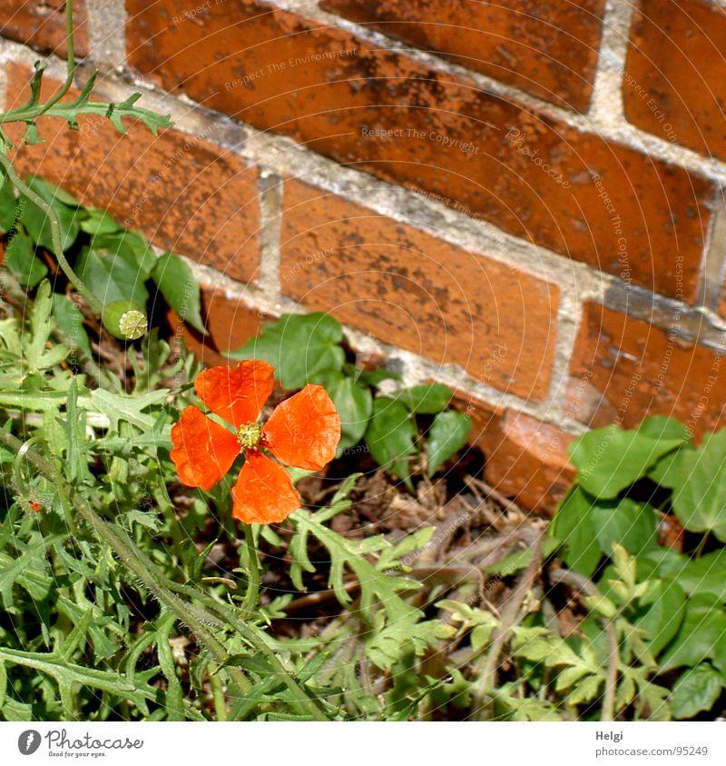 ein echtes Mauerblümchen... Mohn Mohnblüte klein Blüte Stengel grün rot braun Fuge grau Straßenrand einzeln Blume Backstein Einsamkeit Sommer Vergänglichkeit