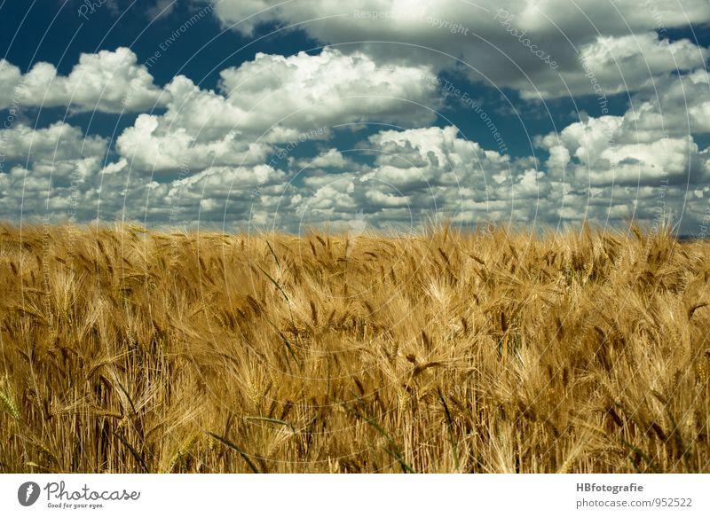 Unendlichkeit Umwelt Natur Landschaft Pflanze Sonne Sonnenlicht Sommer Schönes Wetter Wärme Nutzpflanze Feld Getreidefeld blau braun gelb gold Stimmung Energie