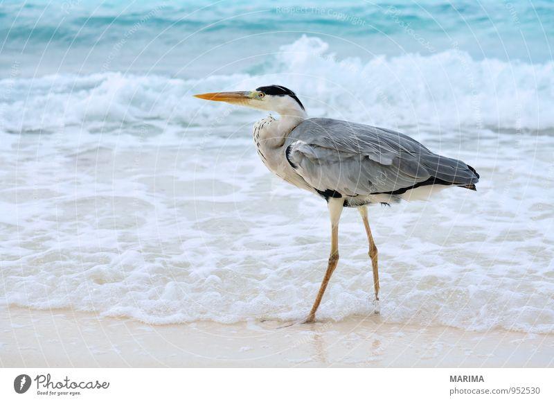 Grey Heron Natur Ferien & Urlaub & Reisen blau Wasser Erholung Meer Tier Strand Küste Stil grau Sand Vogel Wellen Feder Insel