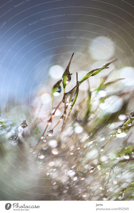 drip Pflanze Moos frisch glänzend hell nass natürlich Natur Wassertropfen Farbfoto Außenaufnahme Textfreiraum links Textfreiraum oben Textfreiraum unten Tag