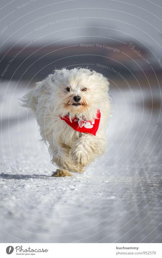 Schneeball Winter Tier Straße langhaarig Haustier Hund Fell 1 kalt Geschwindigkeit weiß Bichon Halstuch Havaneser Jahreszeiten Rassehund rennen Farbfoto