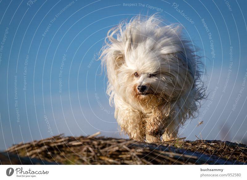 Haarbüschel Tier Fell langhaarig Haustier Hund 1 klein blau braun weiß Bichon Havaneser Rassehund Sonnenschein Stroh himmel rennen Farbfoto Textfreiraum links