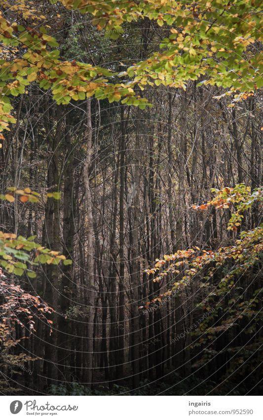 Leerer Herbstwald Natur Pflanze Klima Baum Blatt Wald Forstwirtschaft Wachstum außergewöhnlich dunkel natürlich braun grau grün ruhig Glaube Zufriedenheit