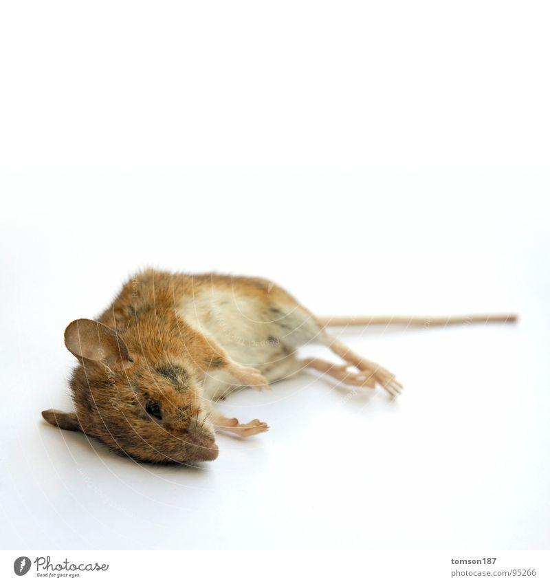 verschnaufpause Tier Erholung Tod atmen Maus Säugetier Atem Nagetiere