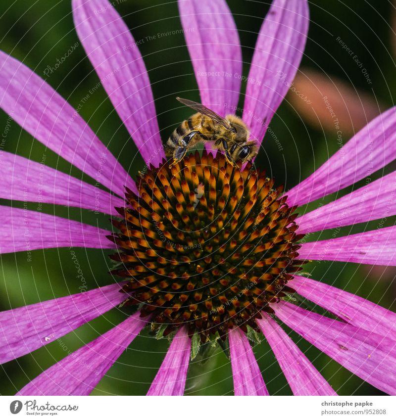 Bienchen, Blümchen - you know the story Natur Pflanze Sommer Blume Tier Umwelt Blüte Frühling natürlich fliegen Wildtier Biene krabbeln Grünpflanze Nutzpflanze