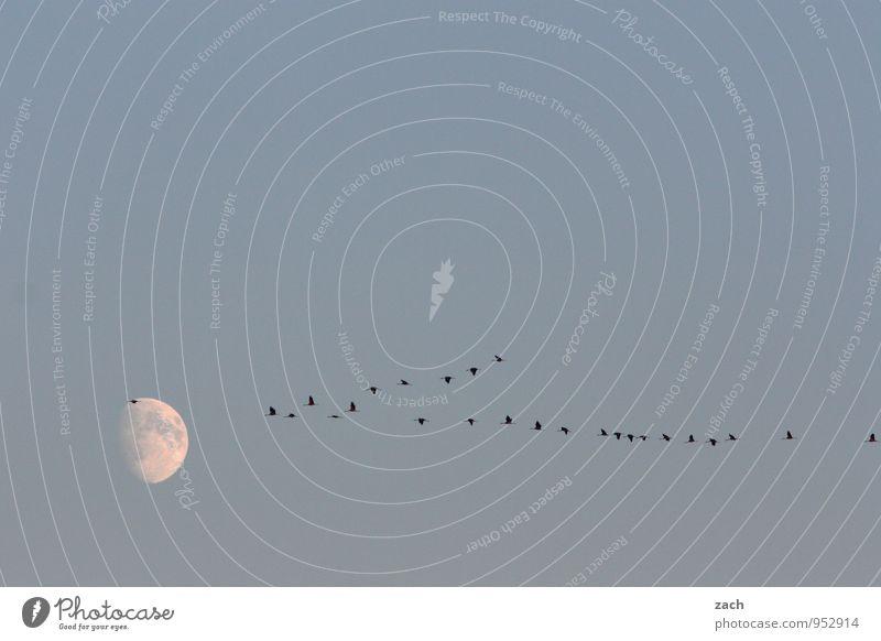 fliegen   Wettlauf zum Mond Himmel nur Himmel Wolkenloser Himmel Nachthimmel Vollmond Herbst Schönes Wetter Tier Wildtier Vogel Flügel Kranich Zugvogel