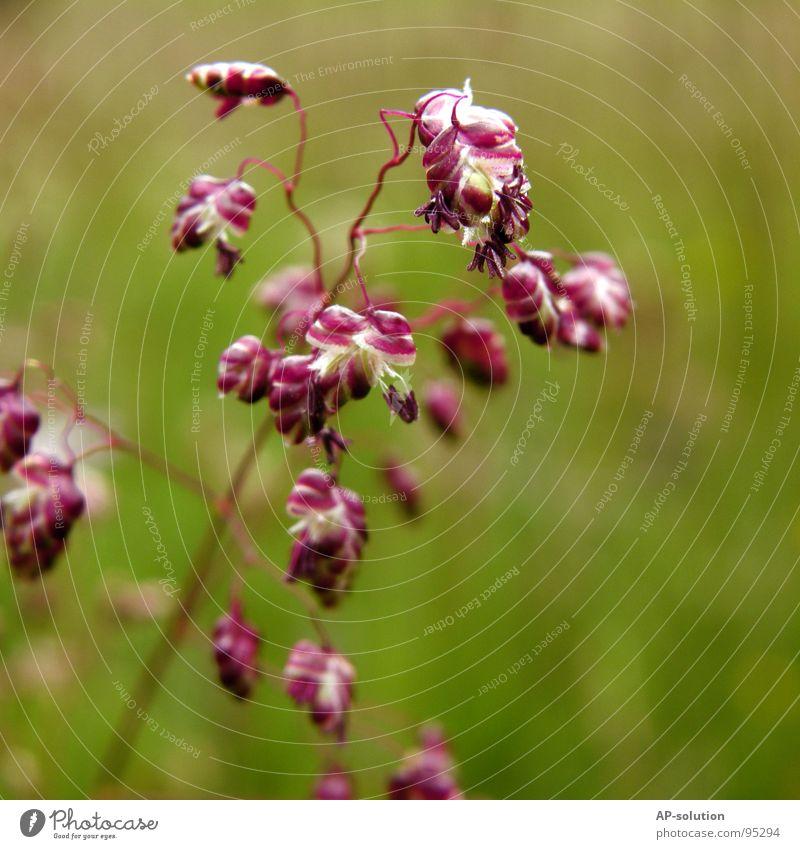 Zittergras Wiese Gras Blumenwiese Blühend Pflanze Blüte Wachstum Makroaufnahme bestäuben Frühling Sommer violett grün Blumenstrauß Biene Frühlingsgefühle schön