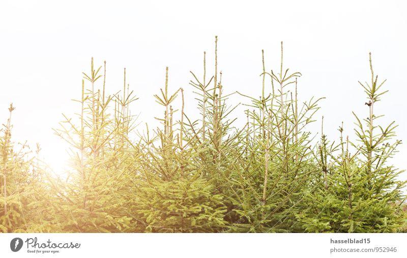 Tannen.grün Weihnachten & Advent Baum Erholung ruhig Freude Wald Glück Lifestyle Zufriedenheit Häusliches Leben Spitze einzigartig kaufen historisch viele