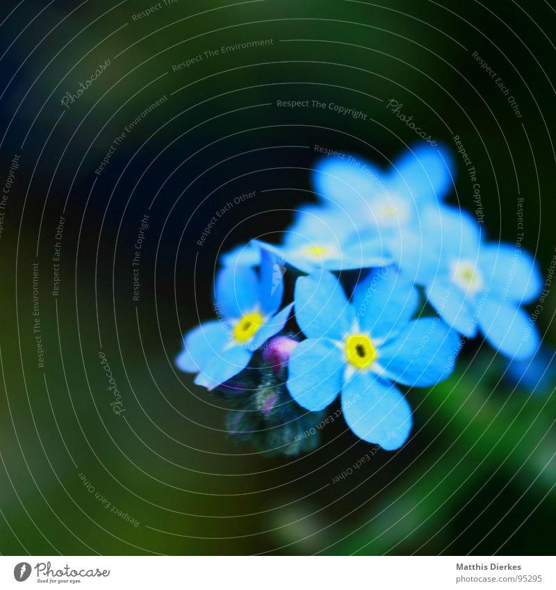 VERGISSMEINNICHT blau Sommer Blume gelb Farbe Graffiti Frieden Blumenstrauß Tiefenschärfe strahlend Vergißmeinnicht gesättigt