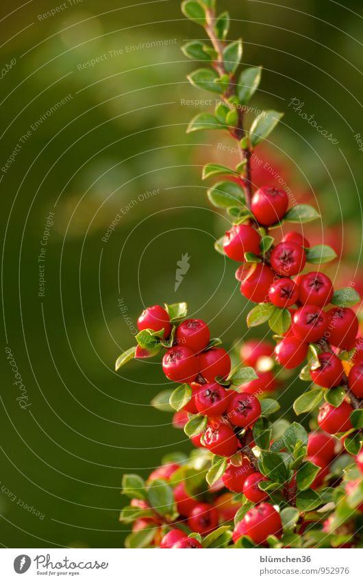 Viele rote Beeren Natur Pflanze Herbst Sträucher Zwergmispel Bodendecker Beerensträucher Vogelbeeren Zweig Blatt Fruchtstand Garten Park Wachstum klein