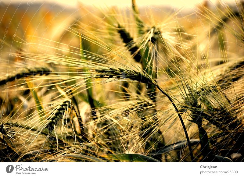 Gerstenfeld Natur Sommer gelb Landschaft Stimmung Beleuchtung Feld Wind Spuren Landwirtschaft Amerika Ernte Halm Korn Indien Abenddämmerung