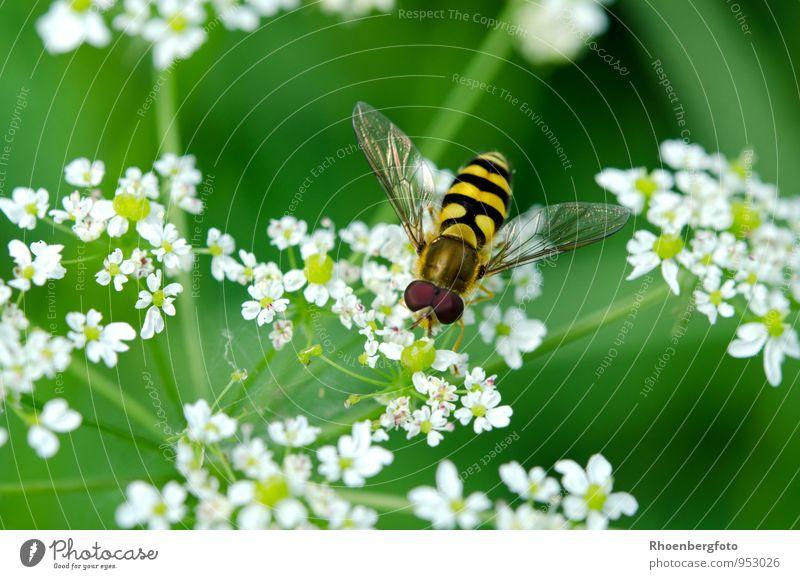 Schwebfliege Natur Pflanze schön Sommer Blume Tier gelb Wärme Wiese klein Garten braun fliegen Wildtier Zufriedenheit authentisch