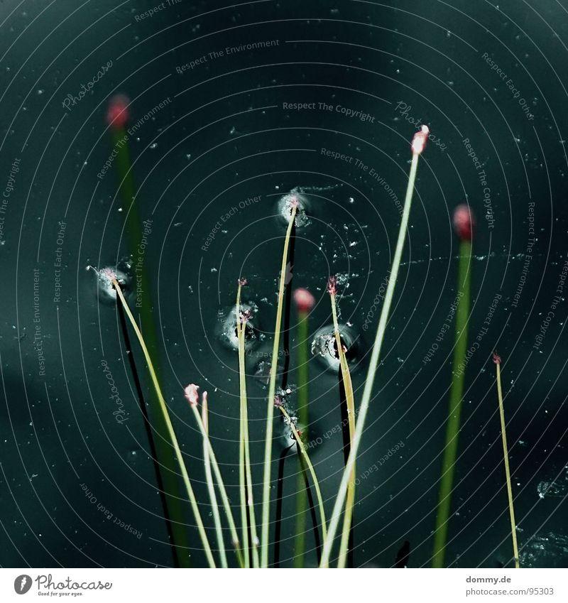 schnitzelgarten Reflexion & Spiegelung Gras Pflanze Stroh Halm tauchen schwarz rund Stab grün braun dunkel Quelle Wachstum Sommer Wasser ursprünglich Natur