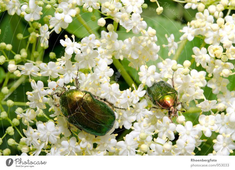 Rosenkäfer Natur Pflanze schön grün weiß Sommer Baum Tier Blüte klein Garten fliegen Wildtier sitzen Flügel beobachten
