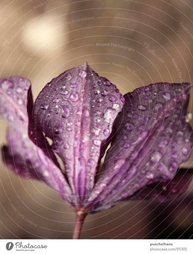 Violett Natur Wasser Blume Pflanze ruhig Blüte Frühling Garten braun Wassertropfen violett