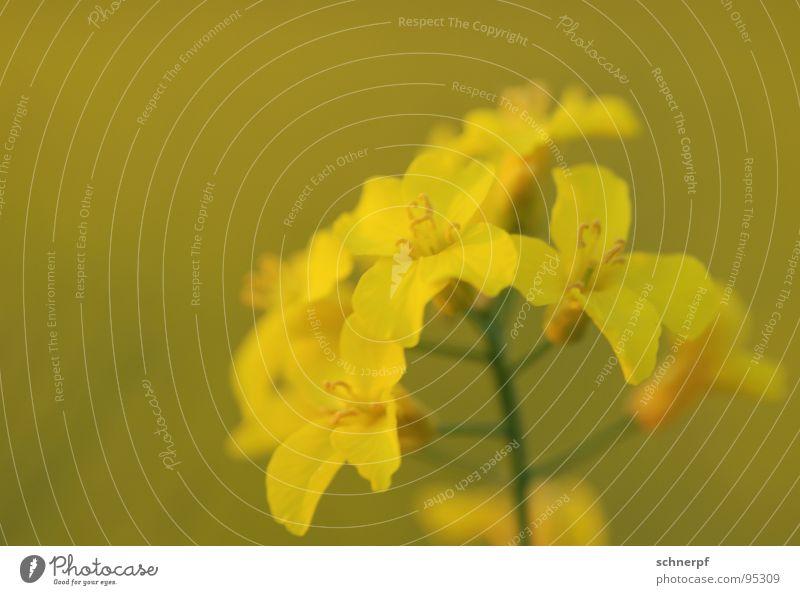Just another Raps gelb Blume grün Pflanze Zimmerpflanze ruhig schön anmutend Gruß bestäuben Blüte harmonisch satt Kraft einfarbig diagonal mehrere Makroaufnahme