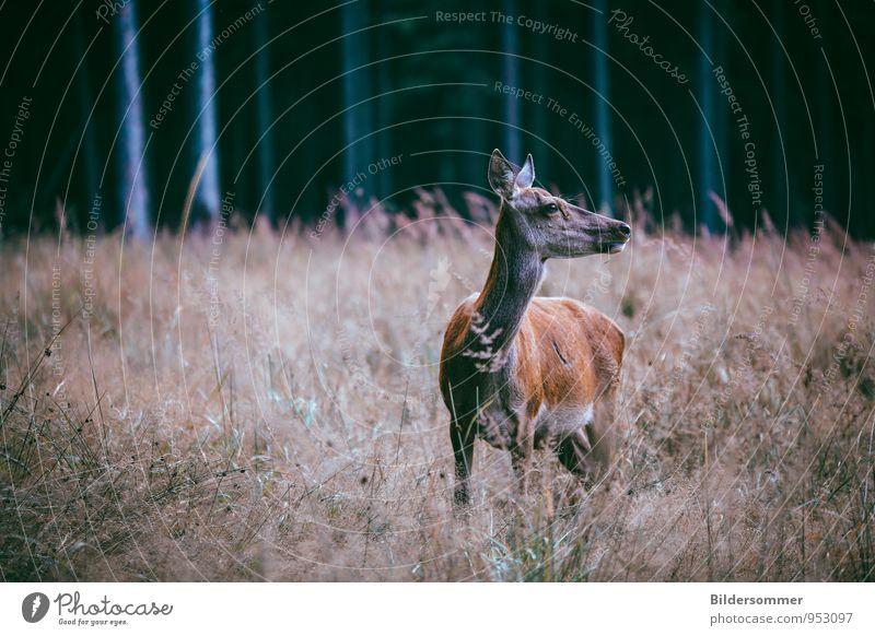 . Natur Tier Wald Herbst Wiese braun Wildtier beobachten entdecken Wachsamkeit Märchen Vorsicht Wildnis Schüchternheit erleben unschuldig