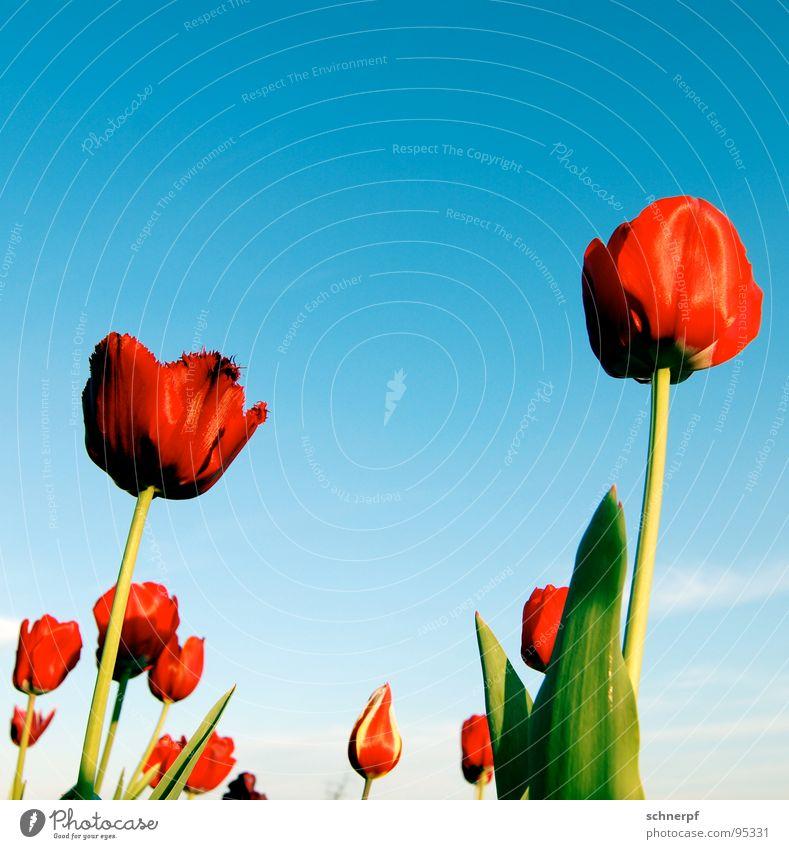Den Kopf in den Himmel... Sonne Blume grün blau Pflanze rot Freude Farbe Frühling Garten Erfolg Stengel Tulpe Beet Niederlande