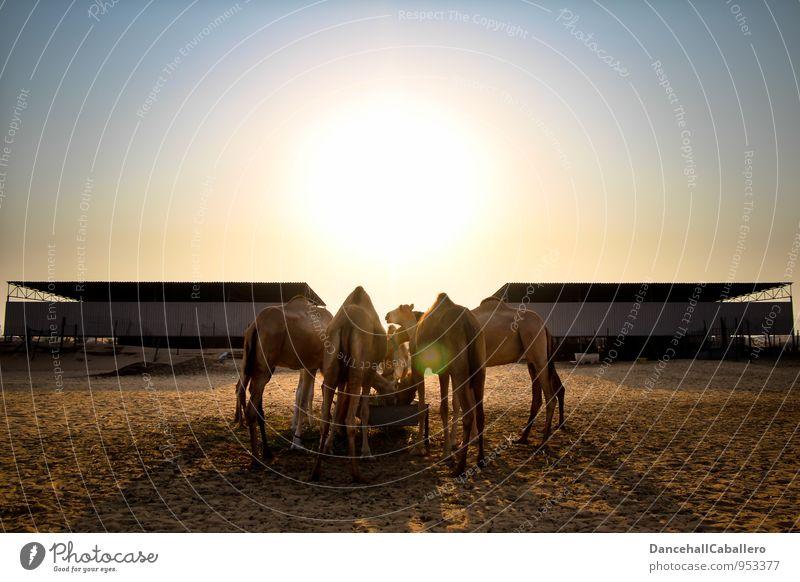 Abendessen Ferien & Urlaub & Reisen Tourismus Ausflug Abenteuer Safari Sommer Sommerurlaub Sand Wolkenloser Himmel Schönes Wetter Wüste Oase Tier Nutztier Kamel