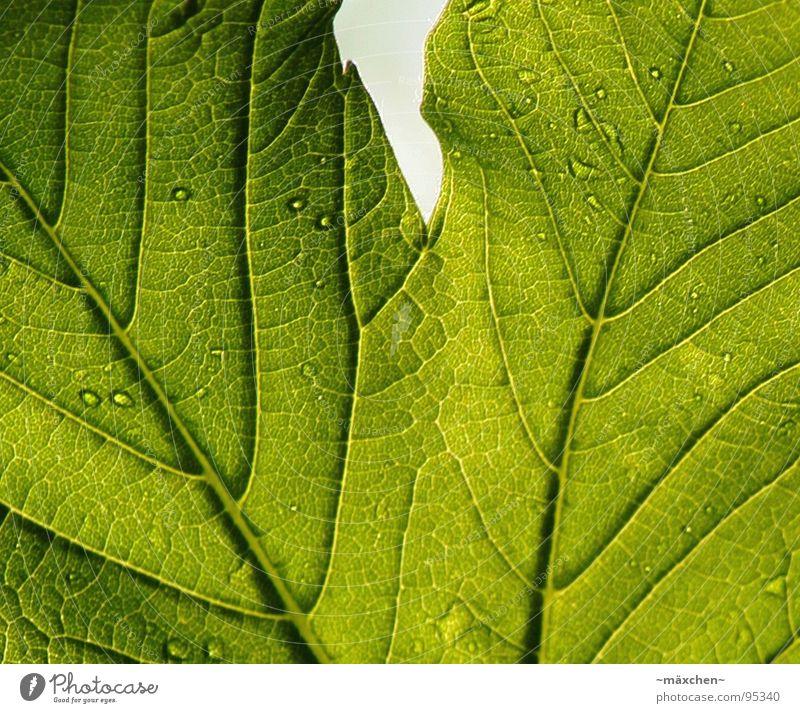 Die Zeichen eines Blattes II Baum grün Pflanze Leben Wassertropfen Wachstum durchsichtig Gefäße live Reifezeit