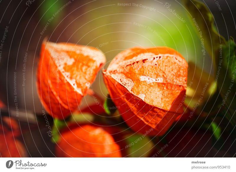 o r a n g e Natur Pflanze Herbst Schönes Wetter Blatt Blüte Wildpflanze Physalis Südfrüchte Blasenkirschen Kapstachelbeere Nachtschattengewächse Lampionblume