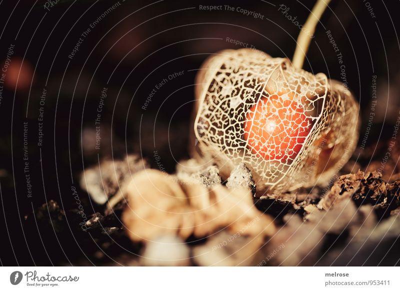 Netzkleid Natur Pflanze Sonne Herbst Schönes Wetter Blume Blatt Blüte Nutzpflanze Wildpflanze exotisch Physialis Lampionblume Fruchtfleisch fruchtig Physalis