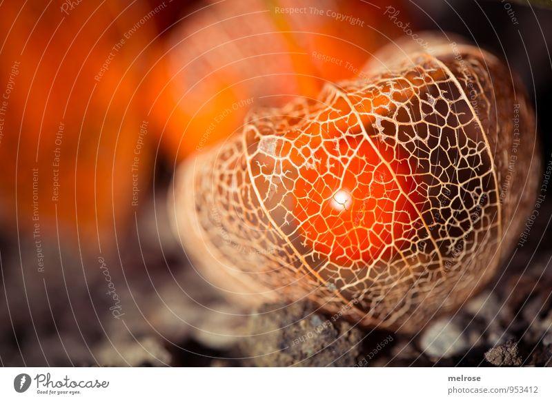 durchsichtig Natur Pflanze Sonnenlicht Herbst Schönes Wetter Blume Blüte Nutzpflanze Wildpflanze exotisch Lampionblume Physialis Nachtschattengewächse